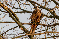 Milvus milvus - Red Kite-392