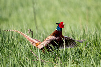 Phasianidae - pheasants & partridges