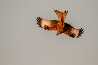 Milvus milvus - Red Kite-597