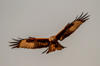 Milvus milvus - Red Kite-594