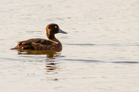 Aythya fuligula - Tufted Duck80
