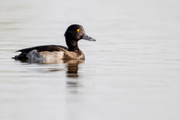 Aythya fuligula - Tufted Duck61