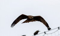 Milvus migrans - Black Kite-131