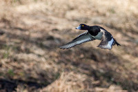 Aythya fuligula - Tufted Duck15