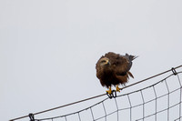 Milvus migrans - Black Kite-151