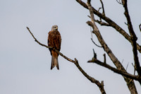 Milvus milvus - Red Kite-309
