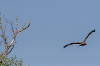 Milvus milvus - Red Kite-190