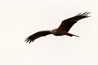 Milvus migrans - Black Kite-91