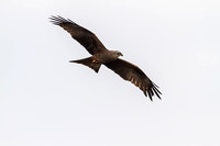 Milvus migrans - Black Kite-83