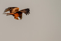 Milvus milvus - Red Kite-601