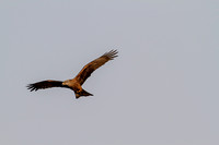 Milvus migrans - Black Kite-65