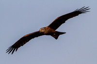 Milvus migrans - Black Kite-79