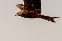 Milvus milvus - Red Kite-312
