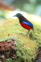 Black-crowned pitta - Erythropitta ussheri