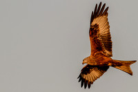 Milvus milvus - Red Kite-616